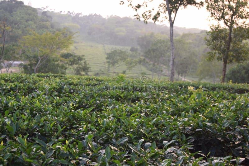 Fatickchri Odulia茶园, Najirhat,吉大港,孟加拉国 库存照片