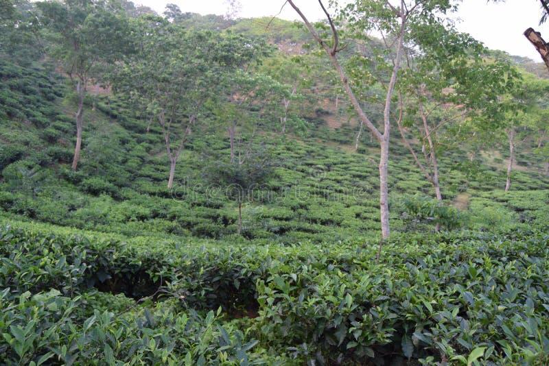 Fatickchri Odulia茶园, Najirhat,吉大港,孟加拉国 免版税库存图片