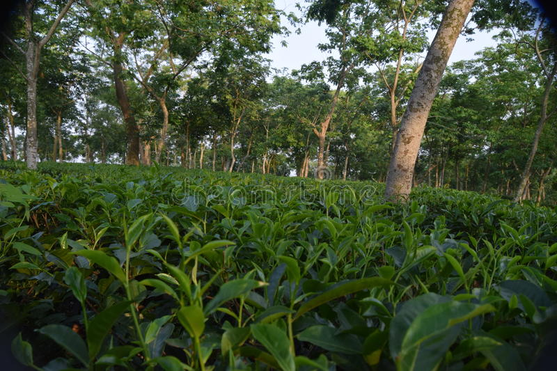 Fatickchri Odulia Tea Garden, Najirhat, Chittagong , Bangladesh. This is very nice and cool place. This is perfect for outing royalty free stock photos