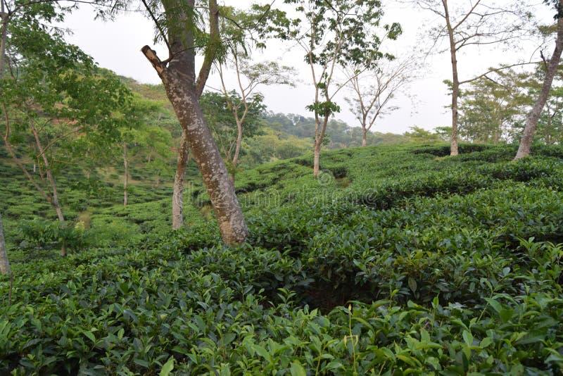 Fatickchri Odulia teträdgård, Najirhat, Chittagong, Bangladesh royaltyfria bilder