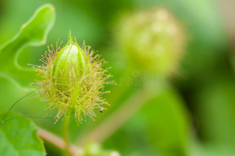 Fatid passionflower pączki. zdjęcia royalty free