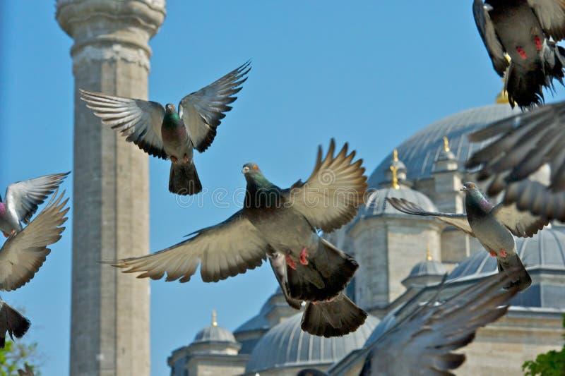 Fatih Mosque och duvor 1 arkivbilder