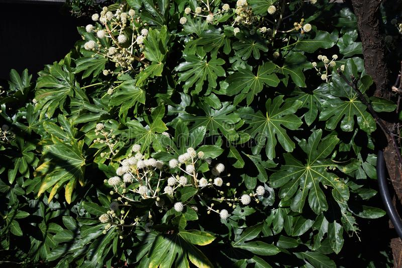Flower of Fatsia japonica. Fatsia japonica is a large leaf tree with cuts and white flowers bloom in late autumn stock image