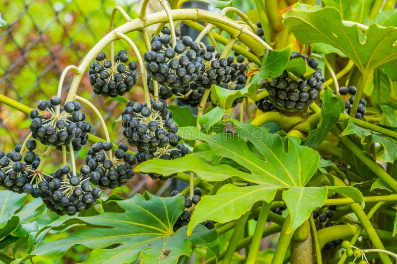 Fatsia plant branch full of ripe black berries, Fruiting tropical plant from Asia. A Fatsia plant branch full of ripe black berries, Fruiting tropical plant from royalty free stock photography