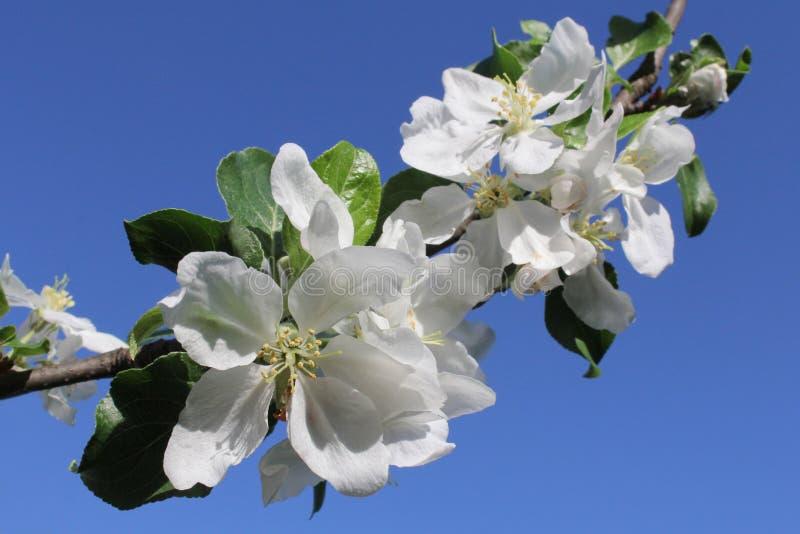 Fatta av det blomstra äpplet arkivbild