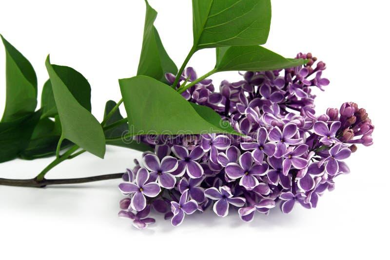 Fatta av lila på vit bakgrund royaltyfri foto