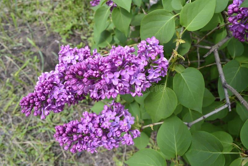 Fatta blomstra lilan royaltyfria foton