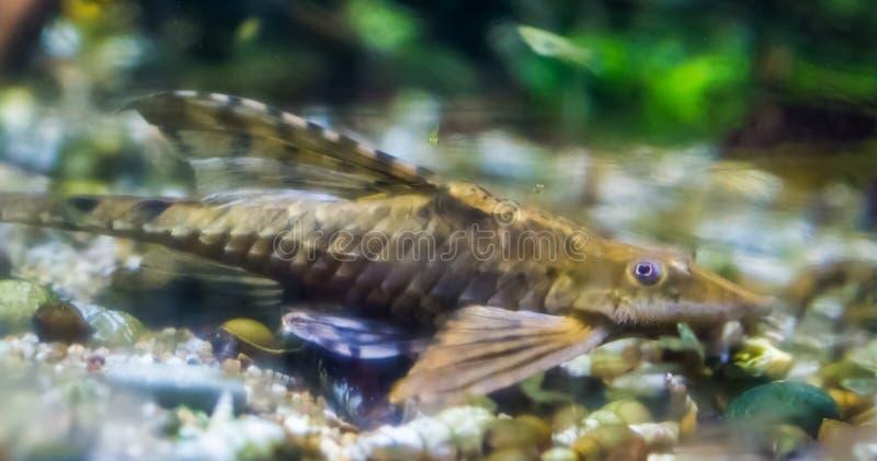 Fatta havskatten, en populär nedersta bo fisk, tropisk fisk från floderna av Mexico royaltyfri fotografi
