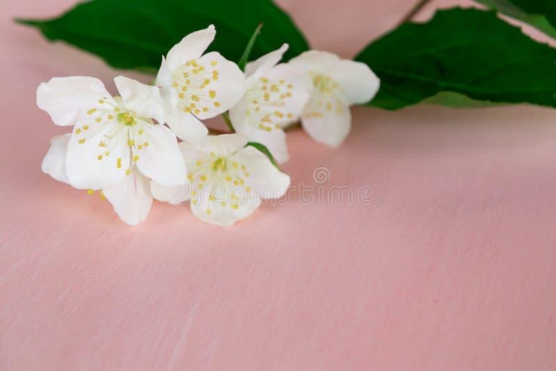 Fatta med blommor av philadelphusen någonstans kallade jasmin eller den falska apelsinen på en rosa trätabell arkivbild
