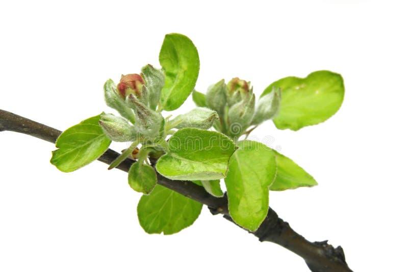 Fatta med unga knoppar av äppleträdet royaltyfria bilder