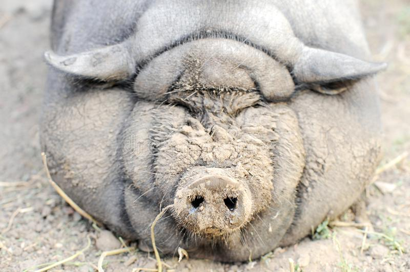 The fattened fat pig of the Vietnamese breed is visibly invisible. The concept of home breeding pigs stock image