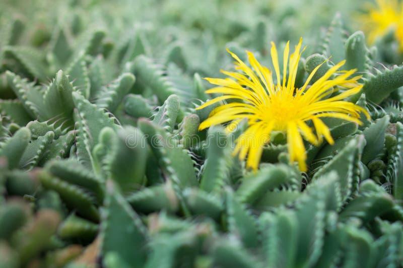 Faucaria tuberculosa -黄色花Pebbled老虎下颌仙人掌 免版税库存照片