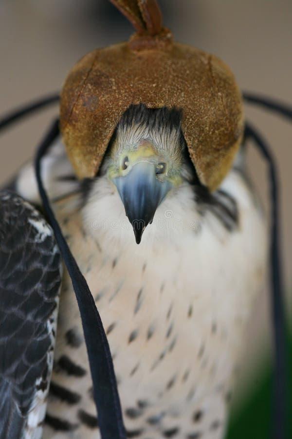 Faucon à capuchon photographie stock
