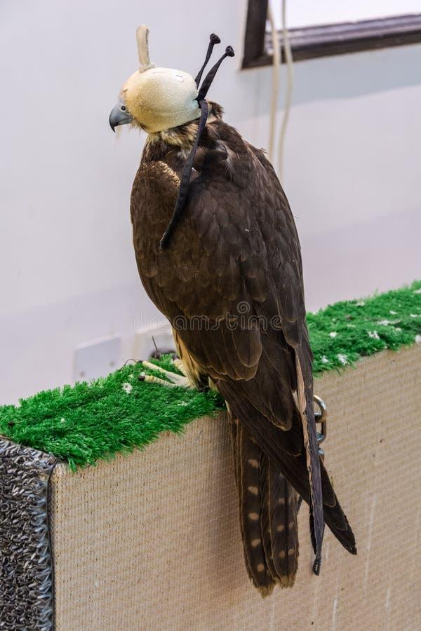Faucon à capuchon dans le chapeau blanc au faucon Souq dans Doha images stock