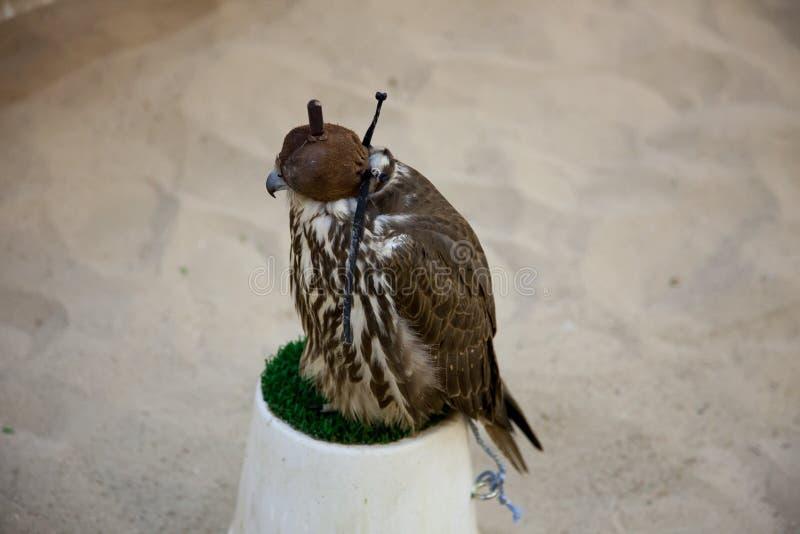 Faucon à capuchon se reposant sur l'herbe en plastique verte photos stock
