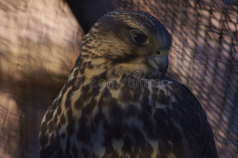 faucon photo libre de droits