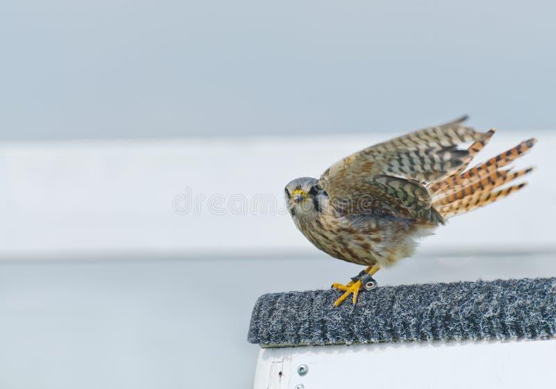 Faucon américain de crécerelle (sparverius de falco) images libres de droits