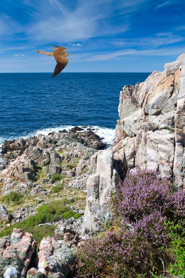 Faucon au-dessus de la côte suédoise photo stock