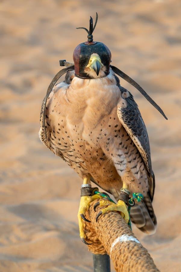 Faucon avec un capot en cuir Exposition de fauconnerie dans le désert près de Dubaï, EAU photographie stock