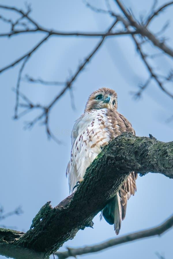 Faucon coupé la queue par rouge, Central Park, NYC image libre de droits
