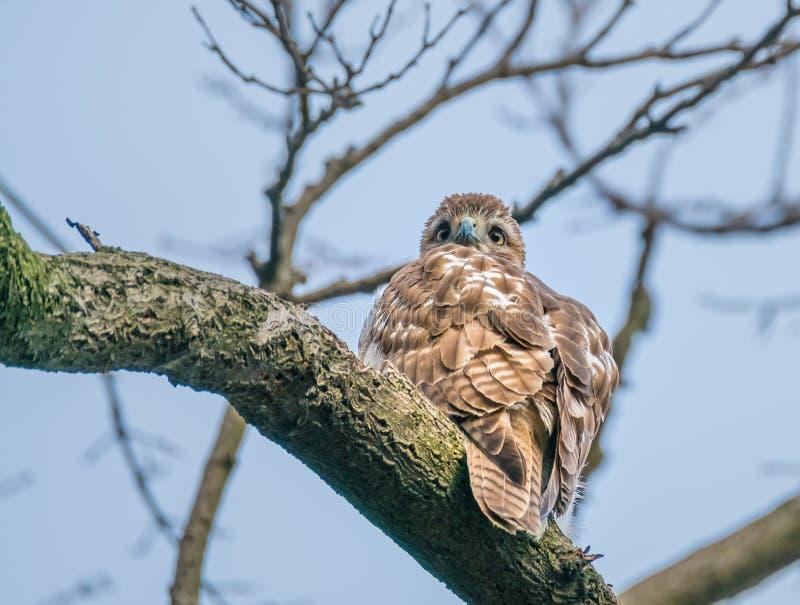 Faucon coupé la queue par rouge, Central Park, NYC photo stock