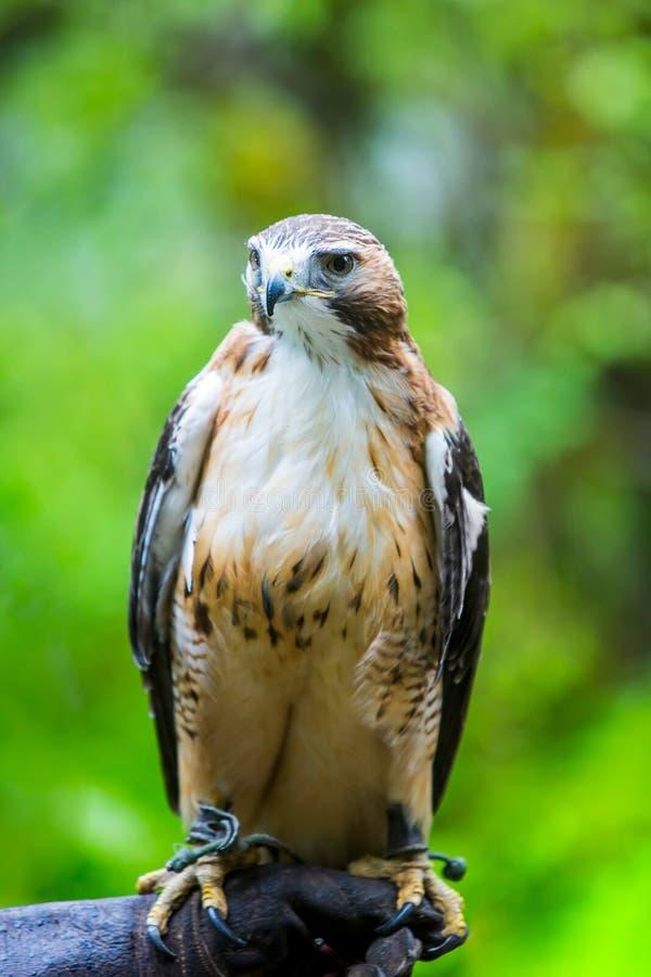 Faucon coupé la queue par rouge en main de fauconnier photo libre de droits