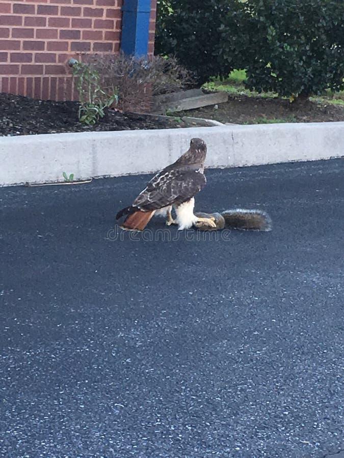 Faucon coupé la queue rouge et son dîner photos libres de droits