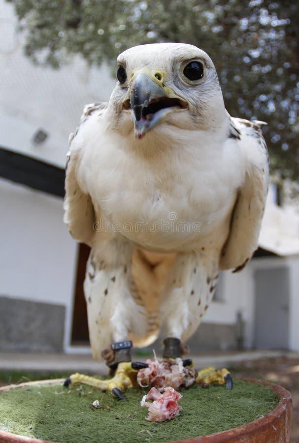 Faucon d'élevage photo stock