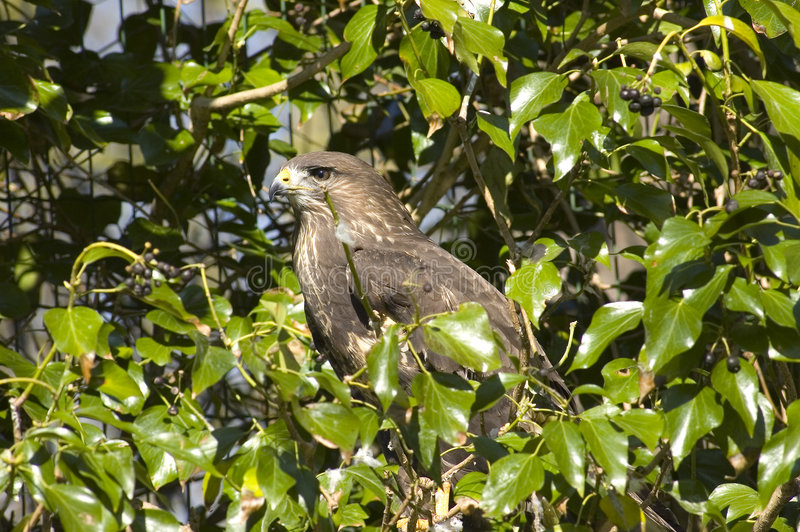 Faucon d'aigle. photos libres de droits