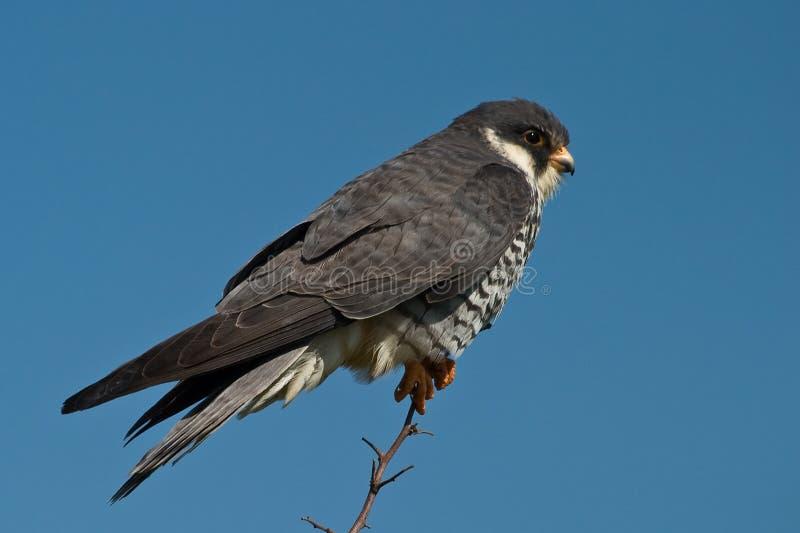 faucon d'amur images libres de droits