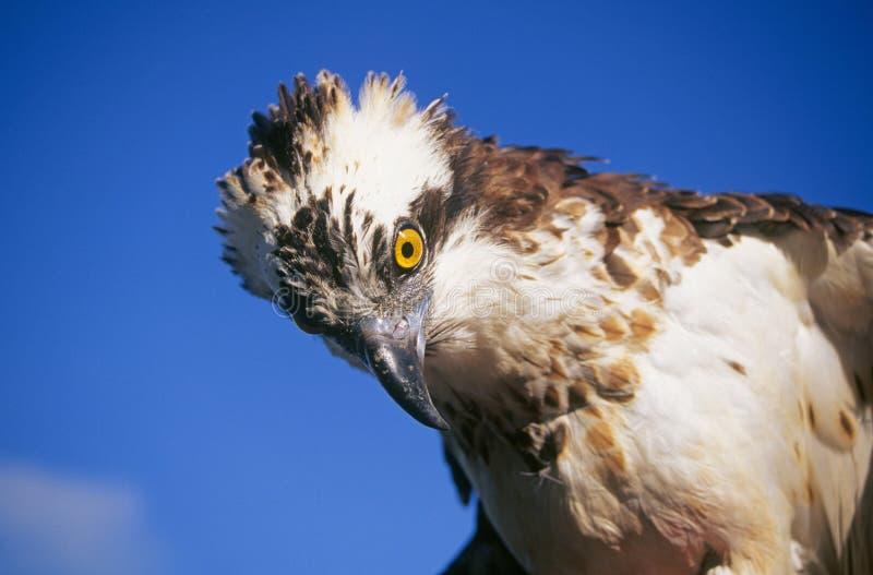 Faucon d'Osprey ou de poissons images libres de droits