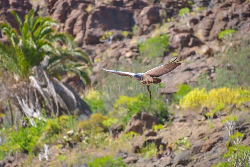 Faucon dans le vol gratuit au parc Maspalomas, mamie Canaria, Espagne de Palmitos photographie stock libre de droits