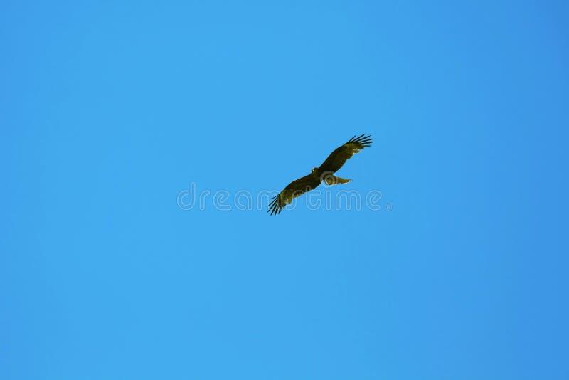 Faucon de Brown et ciel bleu image stock