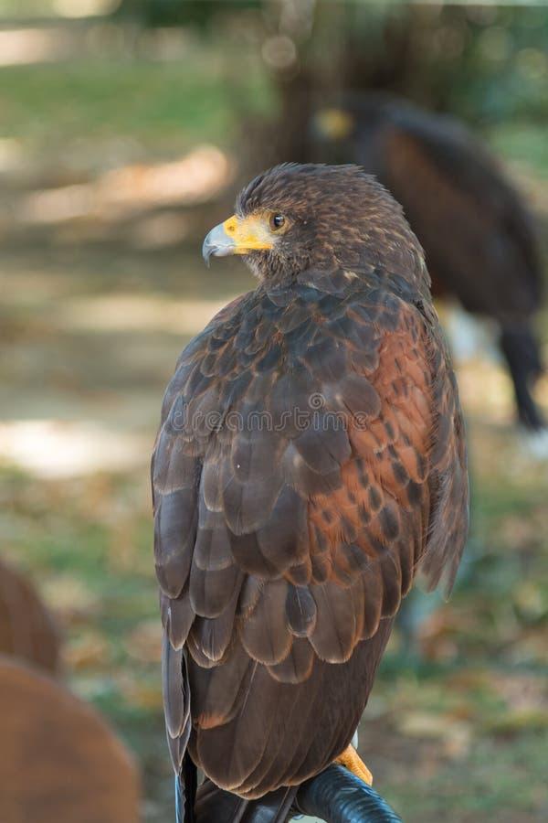 Faucon de Brown : les animaux les plus rapides au monde photos libres de droits