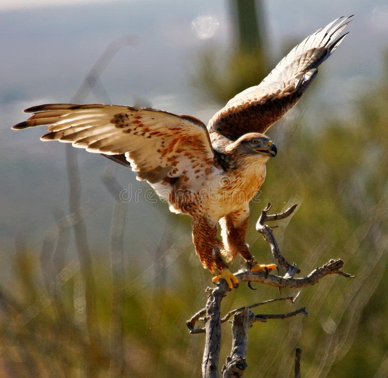faucon de désert image stock
