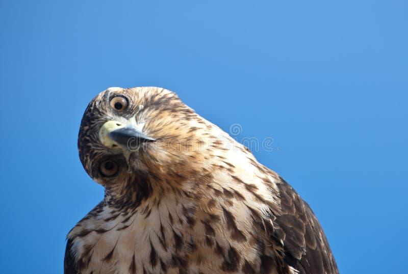 Faucon de Galapagos avec la tête inclinée photographie stock libre de droits