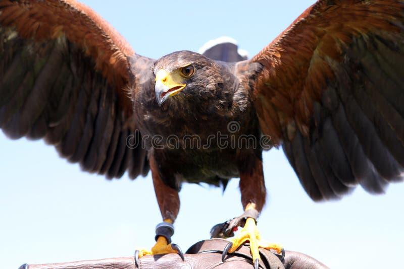 Faucon de Harris photo stock