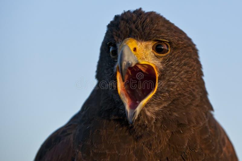 Faucon de Harris images stock