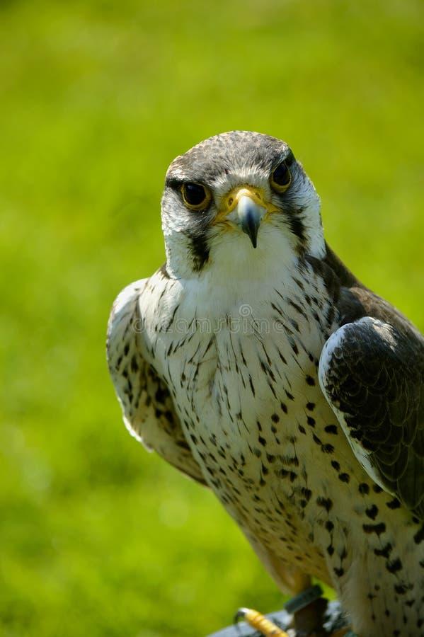 Faucon de Lanner photo libre de droits