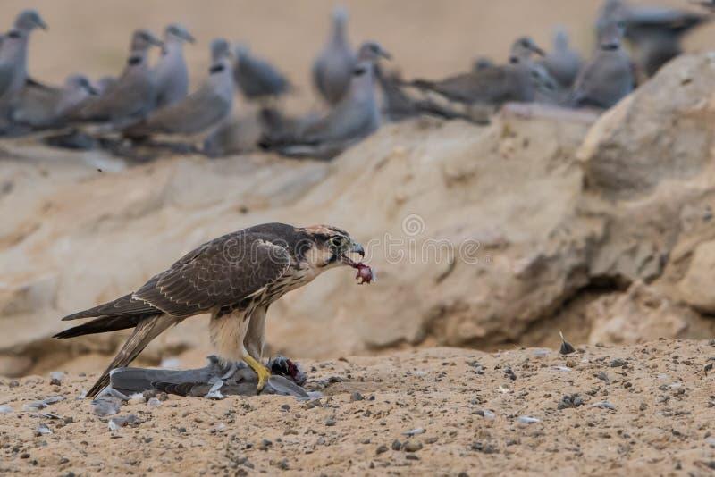 Faucon de Lanner mangeant la colombe photo libre de droits