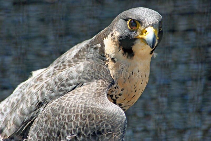 Faucon de Peregrin