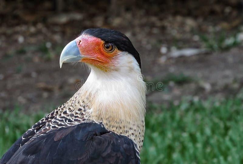 Faucon de Plancus de Caracara photos stock
