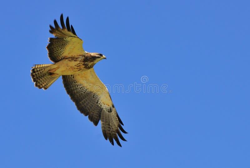 Faucon de Redtail photos libres de droits