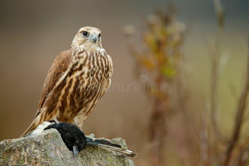 Faucon de Saker, cherrug de Falco, avec la pie attrapée sur la pierre Oiseau de proie se reposant sur la roche avec la nourriture image libre de droits