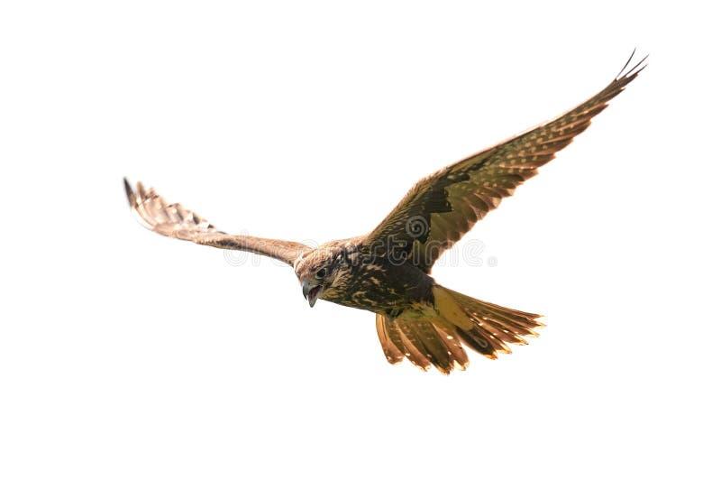 Faucon de Saker, cherrug de falco, volant Sur le fond blanc photographie stock libre de droits