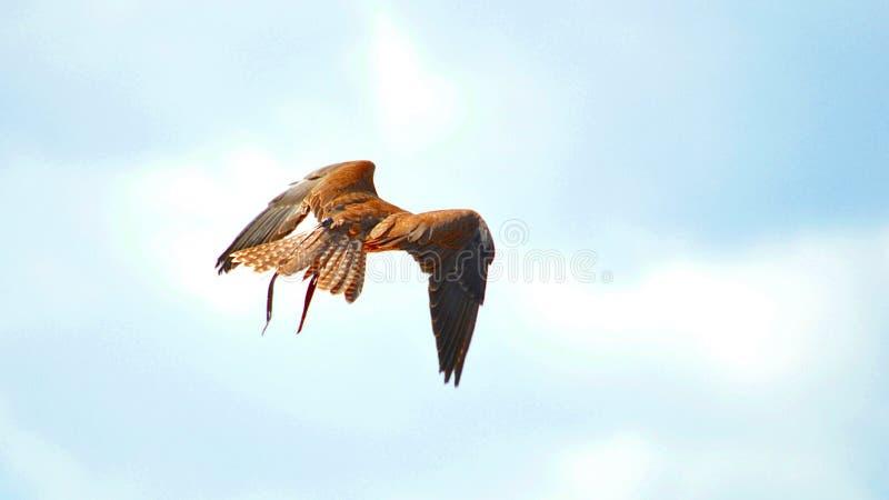 Faucon de Saker, faucon pérégrin, exposition de fauconnerie image libre de droits