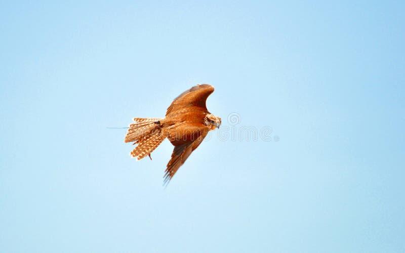 Faucon de Saker, faucon pérégrin, exposition de fauconnerie photo libre de droits