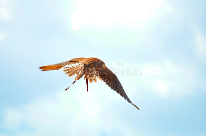 Faucon de Saker, faucon pérégrin, exposition de fauconnerie photographie stock libre de droits