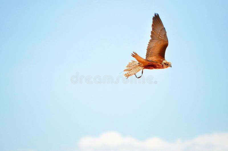 Faucon de Saker, faucon pérégrin, exposition de fauconnerie images libres de droits