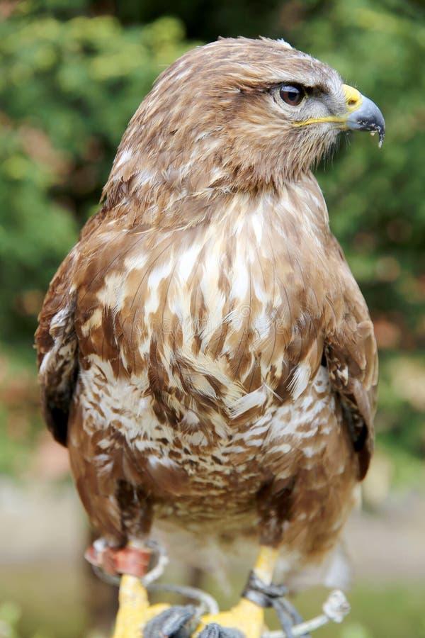 Faucon doux se reposant sur la main inconnue d'observateur d'oiseau photographie stock